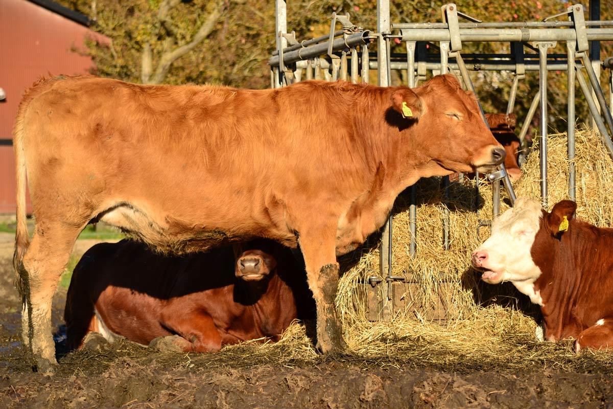 Kor äter hö